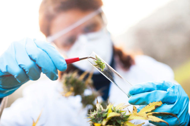 Researcher taking sample of cannabis plant